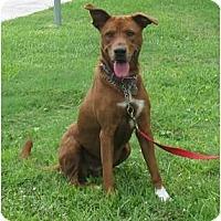 Adopt A Pet :: Penny - Kingwood, TX