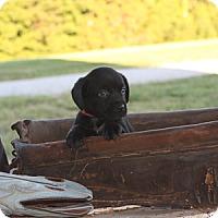 Adopt A Pet :: Bittie Lynne - Russellville, KY