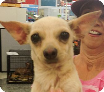 Chihuahua Mix Dog for adoption in Tucson, Arizona - Touille