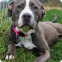 Pit Bull Terrier Mix Dog for adoption in Huntsville, Alabama - 458408
