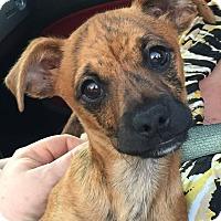 Adopt A Pet :: Mugsy - Orlando, FL