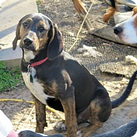 Plott Hound/Black and Tan Coonhound Mix Puppy for adoption in Cleveland, Ohio - Nick of Time