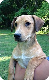 Beagle Mix Puppy for adoption in Manchester, New Hampshire - Brownie