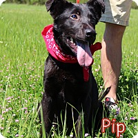 Adopt A Pet :: Pip - Groton, MA