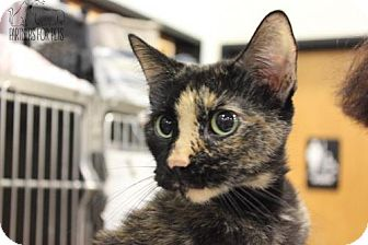 Domestic Shorthair Cat for adoption in Troy, Illinois - Juniper Fostered (Jamie H)