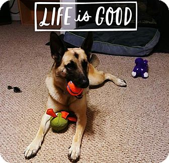 German Shepherd Dog Dog for adoption in Greensboro, North Carolina - Dallas(CL)