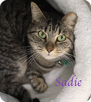 Domestic Shorthair Cat for adoption in Bradenton, Florida - Sadie