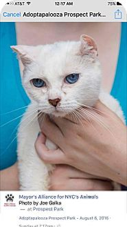 Domestic Shorthair Cat for adoption in Woodland Park, New Jersey - Maria Sinatra 'Blue Eyes'