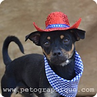 Adopt A Pet :: Leopold - Las Vegas, NV