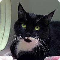 Domestic Shorthair Cat for adoption in Norwalk, Connecticut - Ratatouille