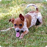 Adopt A Pet :: PUPPY PAUL REVERE - Salem, NH