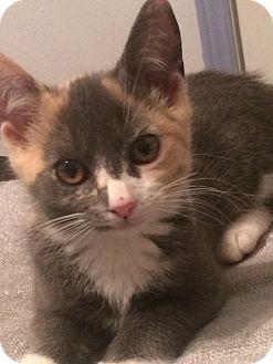 Calico Kitten for adoption in Richmond, Virginia - Gracie