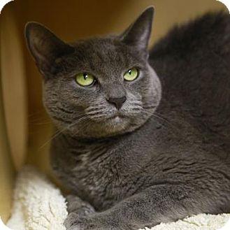 Domestic Shorthair Cat for adoption in Kettering, Ohio - Talia