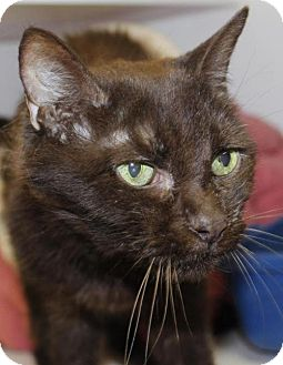 Domestic Shorthair Cat for adoption in Grass Valley, California - Yoda