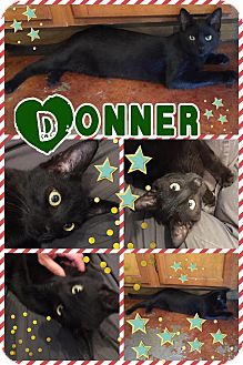 Domestic Mediumhair Kitten for adoption in Ravenna, Texas - Donner