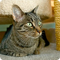 Domestic Shorthair Cat for adoption in Coronado, California - Remy