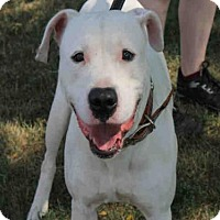 Adopt A Pet :: JOE - Decatur, IL