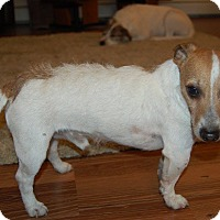 Jack Russell Terrier Dog for adoption in Minot, North Dakota - Shorty