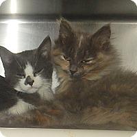 Domestic Longhair Kitten for adoption in Newport, North Carolina - Maudia, Steve, & Clyde