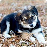 Australian Shepherd Mix Puppy for adoption in Hagerstown, Maryland - PUPPY JUPITER