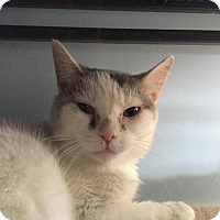 Domestic Shorthair Cat for adoption in Grand Ledge, Michigan - Janey