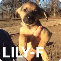 Adopt A Pet :: Lilly Mae - Trenton, NJ