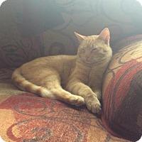 Adopt A Pet :: Buttercup (Courtesy Post) - Denver, CO