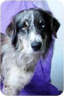 Australian Shepherd Dog for adoption in Orlando, Florida - Cooper