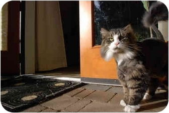 Domestic Longhair Cat for adoption in Duncan, British Columbia - Lily