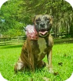 American Pit Bull Terrier/American Pit Bull Terrier Mix Dog for adoption in Orlando, Florida - Lilly