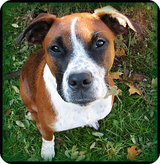 ... | Adopted Dog | Indianapolis, IN | Boxer/Australian Cattle Dog Mix