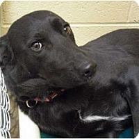 Adopt A Pet :: Sheebie - Wickenburg, AZ