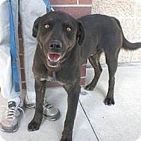 Labrador Retriever/Rottweiler Mix Dog for adoption in Logan, Utah - Tuff