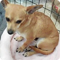 Chihuahua Dog for adoption in Fort Worth, Texas - Rudy