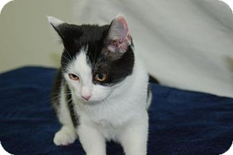 Domestic Mediumhair Cat for adoption in Harrisonburg, Virginia - Fleur