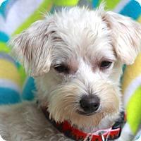 Adopt A Pet :: Armani - Norwalk, CT