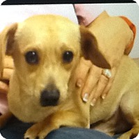 Dachshund/Terrier (Unknown Type, Small) Mix Puppy for adoption in springtown, Texas - Rascal