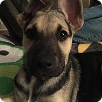 Adopt A Pet :: Ana - Morrisville, NC