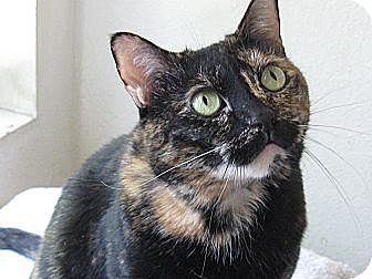 Domestic Shorthair Cat for adoption in Brea, California - PAISLEY
