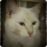 Adopt A Pet :: Kitsune - Pueblo West, CO