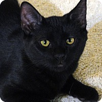 Domestic Shorthair Kitten for adoption in Troy, Michigan - Danny
