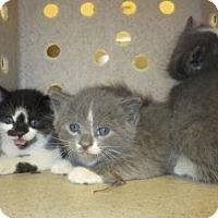 Domestic Shorthair Kitten for adoption in Wildomar, California - 315326