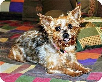 Yorkie, Yorkshire Terrier Dog for adoption in Whiting, New Jersey - Sarah