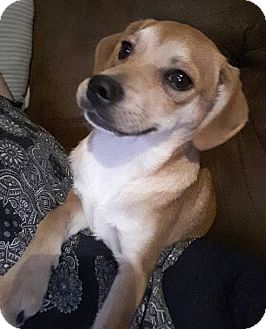 Jack Russell Terrier/Pug Mix Puppy for adoption in Tracy, California - ~~~***MURPHY***~~~