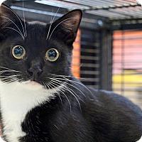 Domestic Shorthair Kitten for adoption in Sarasota, Florida - Pershing