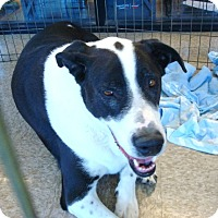 Adopt A Pet :: Boss Murphy - Las Vegas, NV