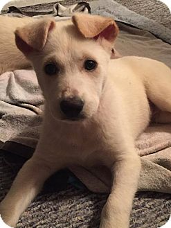 Siberian Husky Mix Puppy for adoption in Shingleton, Michigan - Reno