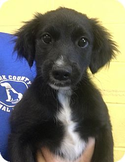 Feist/Border Collie Mix Puppy for adoption in Sparta, New Jersey - Caitlin
