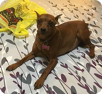 Miniature Pinscher Dog for adoption in Ardsley, New York - Penny