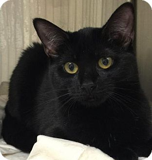 Domestic Shorthair Cat for adoption in Bridgewater, New Jersey - Maple